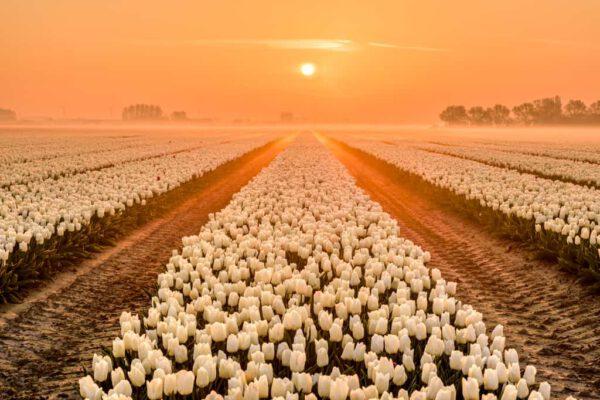 Witte tulpen velden